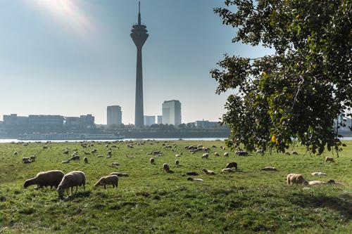 Schafe am Rhein- Foto: © Jürgensen - Düsseldorf