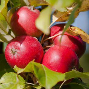 Äpfel © Jürgensen - Düsseldorf