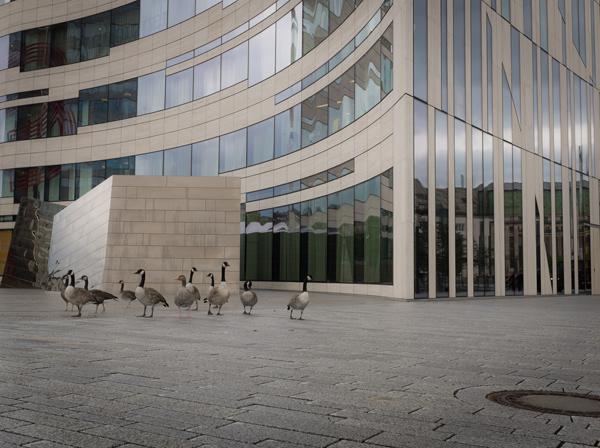 Gänse als Vorboten Pans am Köbogen - Foto: © Jürgensen - Düsseldorf